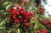 野鸦椿种子